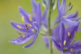 Camassia leichtlinii.jpg