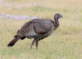 Wild Turkey (F)