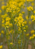 Barbarea orthoceras  American wintercress