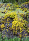 Mimulus guttatus  Yellow monkey-flower