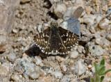 Two-banded Checkered Skipper  (Pyrgus ruralis)