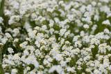 fragrant popcornflower Plagiobothrhys figuratus