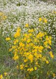 Yellow monkeyflower and fragrant popcornflower  Mimulus guttatus and Plagiobothrhys figuratus