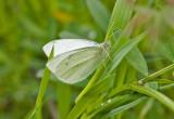 Margined White  Pieris marginalis