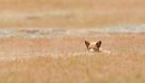 Red Fox, San Juan Island