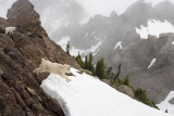 Mountain goat, Mt. Ellinor