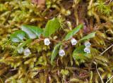 Gaultheria ovatifolia  Slender wintergreen