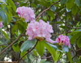 Rhododendron macrophyllum  Pacific rhododendron