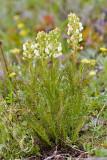 Pedicularis contorta  Contorted lousewort