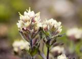 Castilleja parviflora v. albida  Small flowered paintbrush