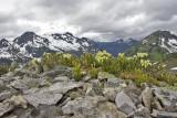 Phyllodoce glanduliflora  Yellow mountain-heath