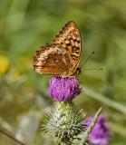 Great Spangled Fritillary  Speyeria cybele (M)
