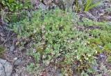 Astragalus microcystis  Least bladdery milk-vetch