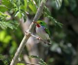 Cuba bird survey April 2013