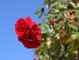 Rose in the Schoenbrunn Garden