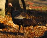 Turkey in Cades Cove
