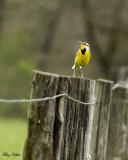 Meadow Lark on a Fence Post