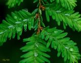 Dew on Hemlock Needles