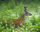 Velvet Buck in Foxtail