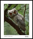 Southern Scopse Owl