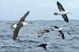 Pelagic Birds from the South Atlantic