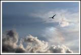 Gull Over Coney Island 2