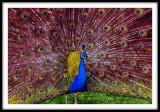 Light Filtering Peacock