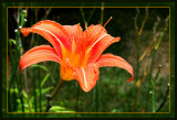 Death of a Tiger Lily