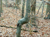 Arbre remarquable - Forêt de Soignes.