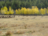 Elk in Rocky Mountain National Park.