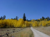 Great color from the aspen tree's