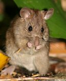 Bush rat - Rattus fuscipes