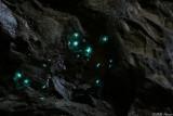Glow worms - Arachnocampa flava