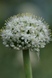Bermuda onion flower.jpg
