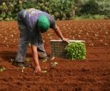 Bermuda's cultural landscape:  farming