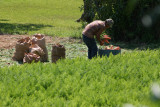 Pulling carrots, Lopes farm