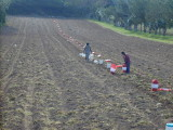 Lopes farm: pulling Bermuda potatoes