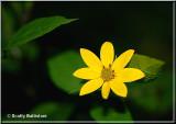 Tickseed Sunflower.JPG