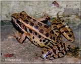 Leopard Frog take 2.JPG