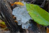Jelly Fungi.JPG