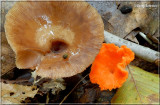 Russula with False Chantrelle.JPG
