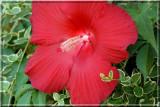Hibiscus224.jpg