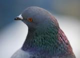 Pigeon_7030.jpg