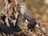 Northern  Mockingbird (Mimus polyglottos) 8