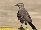 Northern  Mockingbird (Mimus polyglottos) 9