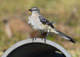 Northern  Mockingbird (Mimus polyglottos) 10