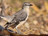 Northern  Mockingbird (Mimus polyglottos) 11