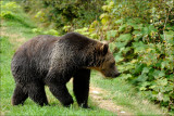 Grizzly (Canada)