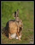 Split-eared Hare, Öland