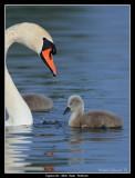 Mute Swan and Cygnet, Malmö